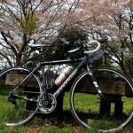 戦車道路で桜を探す