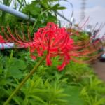 自転車に乗るモチベーションを上げるために、江ノ島のポケストップでポケモンを捕獲する