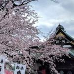 高尾・大光寺の見事な桜と、八王子・大海軒の見事なラーメン