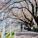 桜と菜の花とトンネルとメンチカツとくら寿司