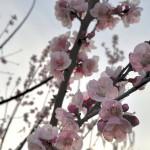 桜が咲いていたから、今治パトロール