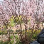 ソメイヨシノは咲いているのか?ほぼ地方移住生活。